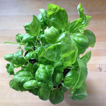 Fresh basil from the farmers' market. Best smell ever.